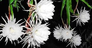 Story of Brahma Kamal flower