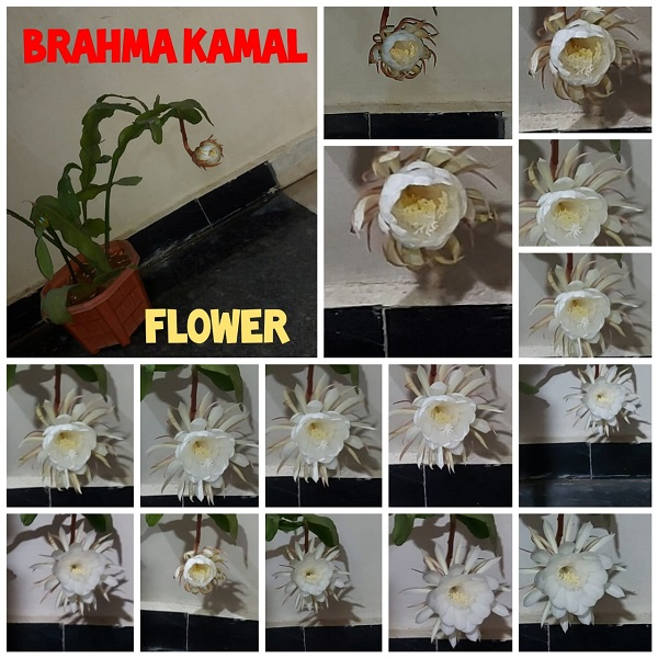 brahma kamalam blooming full video